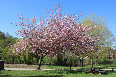 Double Cherry Tree in Severn River Park