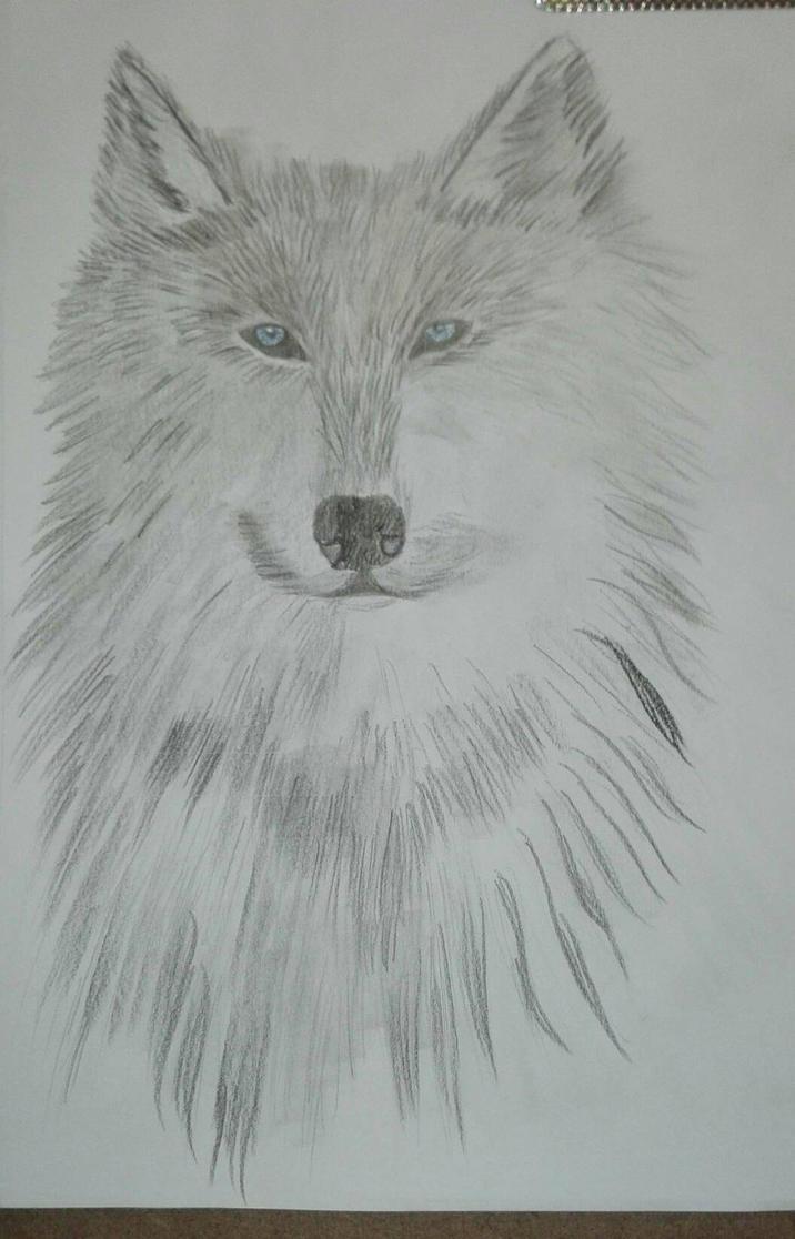 Grey wolf by ciucamona