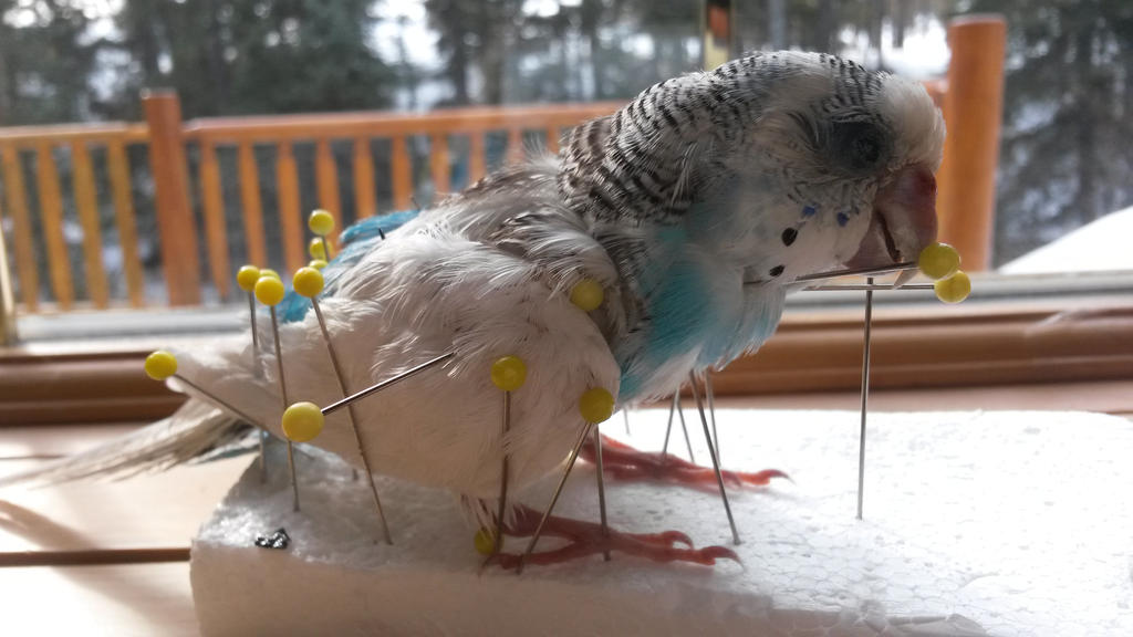 Budgerigar Mount WIP by Whitetail-Taxidermy