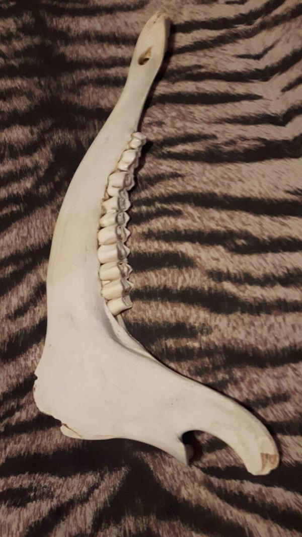 Deer Jawbone  by Whitetail-Taxidermy
