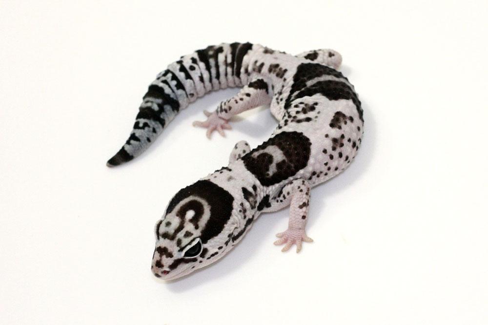 Midnight blizzard leopard gecko