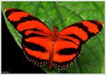 Pantoporia hordonia