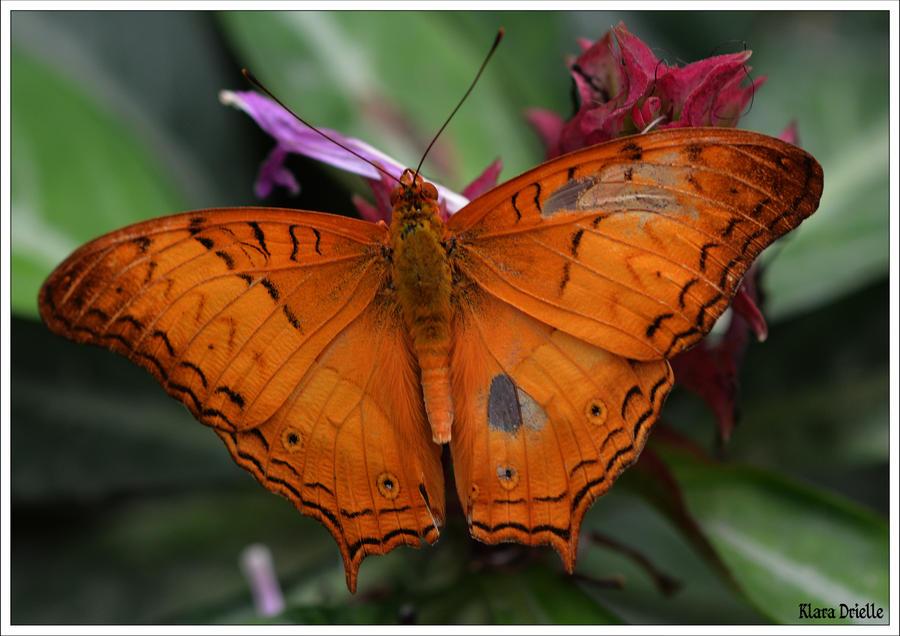 Orange beauty by KlaraDrielle