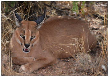 Caracal in the Namibian desert by KlaraDrielle