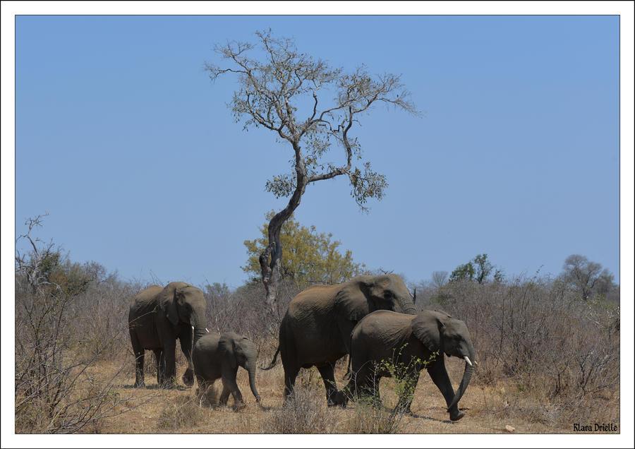 The elephant walk by KlaraDrielle