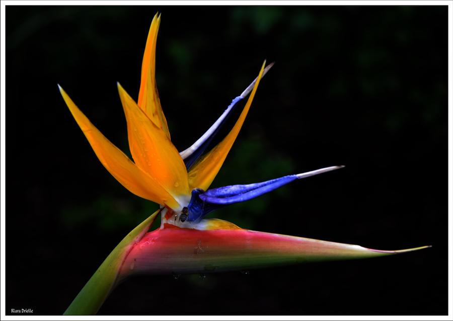 Strelitzia reginae Mandela by KlaraDrielle