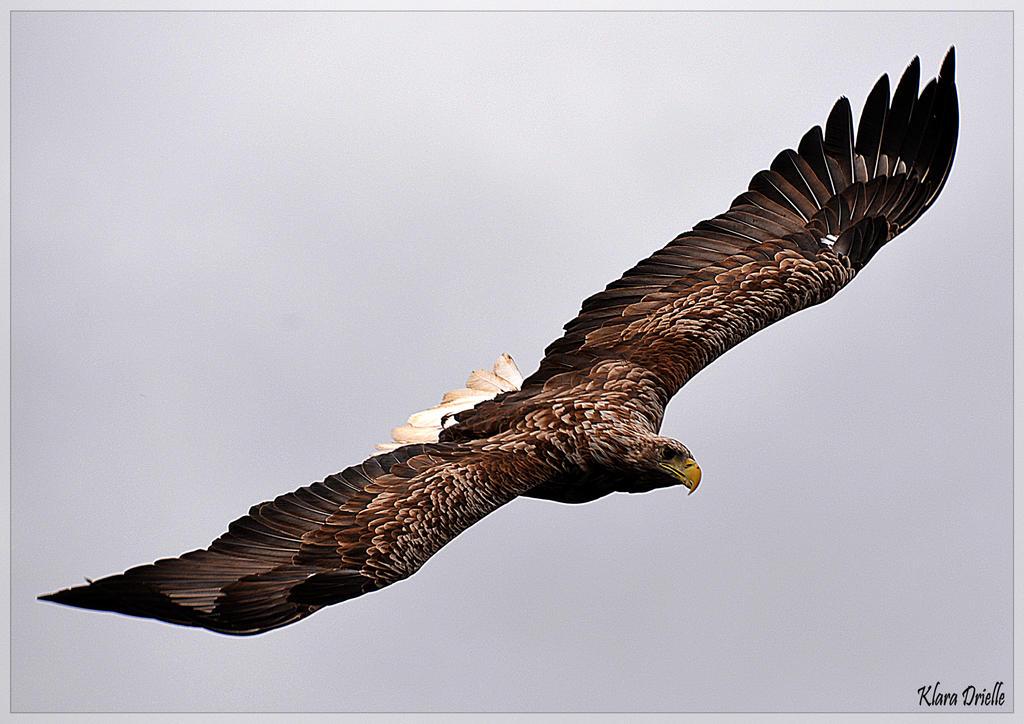 White tailed eagle by KlaraDrielle