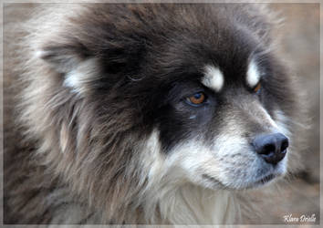 Sled dog by KlaraDrielle