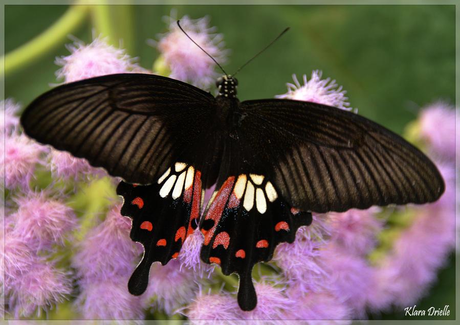 Lady butterfly by KlaraDrielle