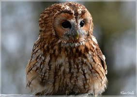 Tawny owl by KlaraDrielle