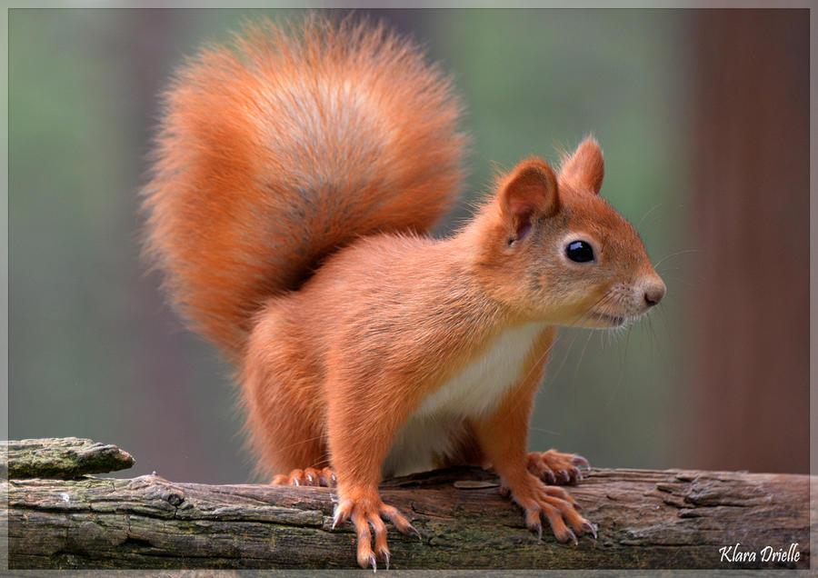 Cute red squirrel by KlaraDrielle