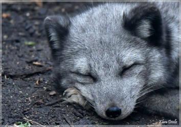 Polar fox by KlaraDrielle