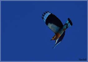Indian blue roller in flight by KlaraDrielle