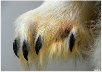 Polar bear paw by KlaraDrielle