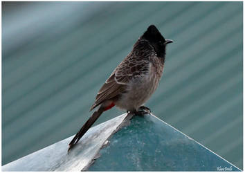 Red vented bulbul by KlaraDrielle