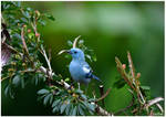 Blue bird of Ecuador by KlaraDrielle