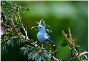 Blue bird of Ecuador