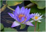 Blue water lily by KlaraDrielle
