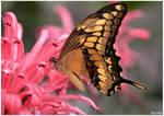 Golden butterfly by KlaraDrielle