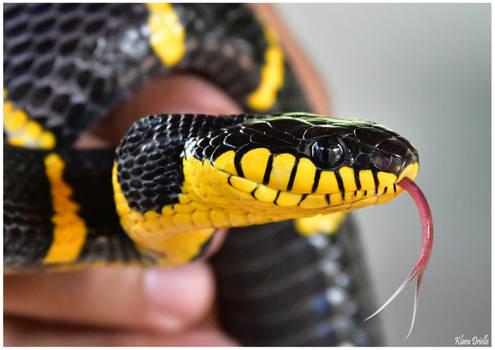 Whistling snake