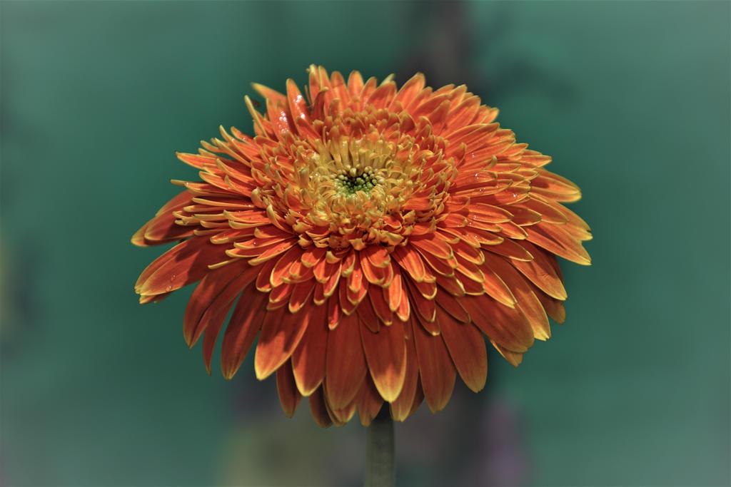 Flower - Sony A68 by AbhishekGhosh