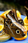 Owl Butterly