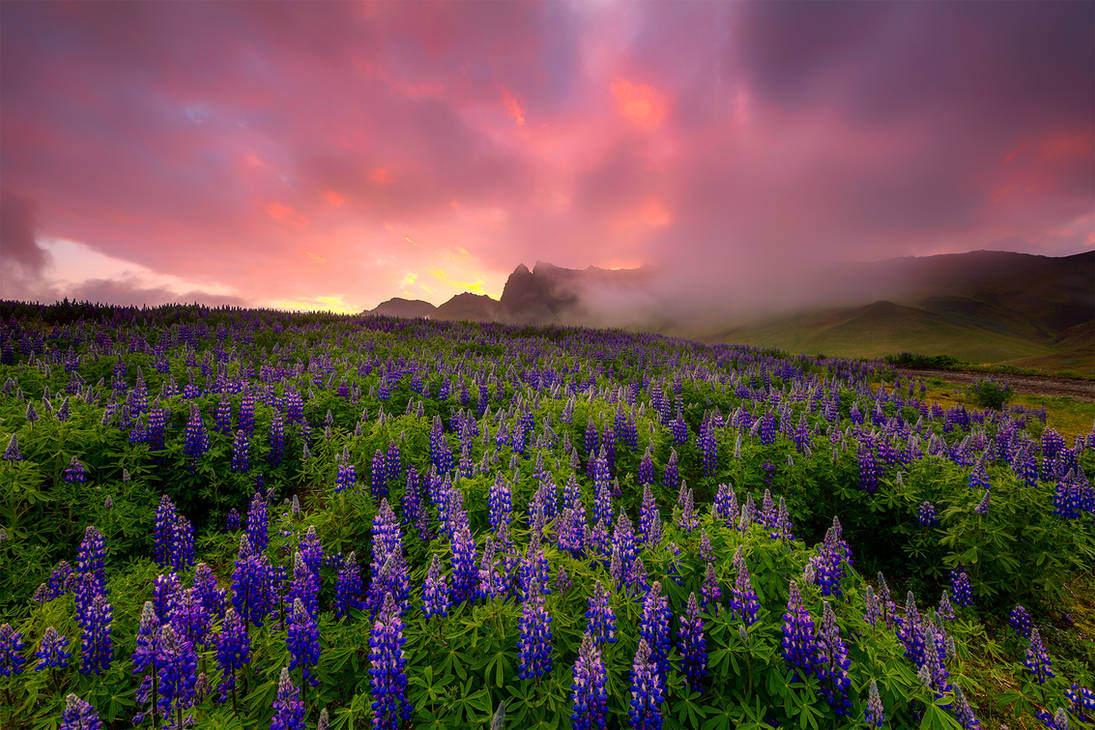 Lupins in the sunrise