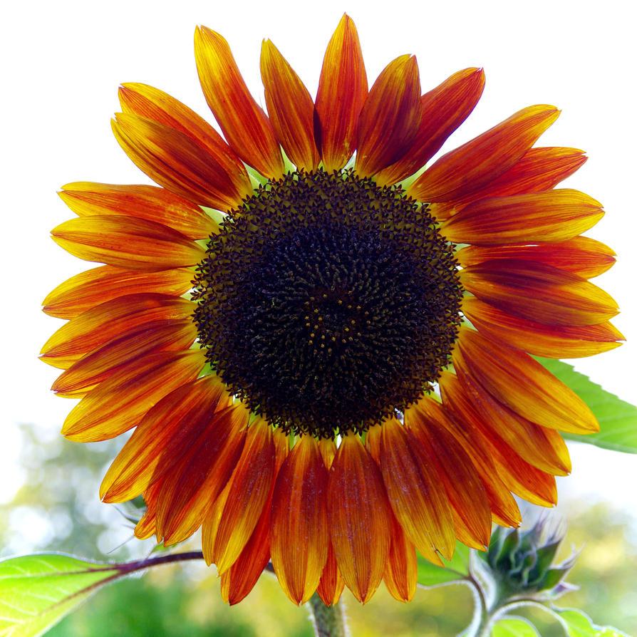 A sunflower by joergens-mi on DeviantArt