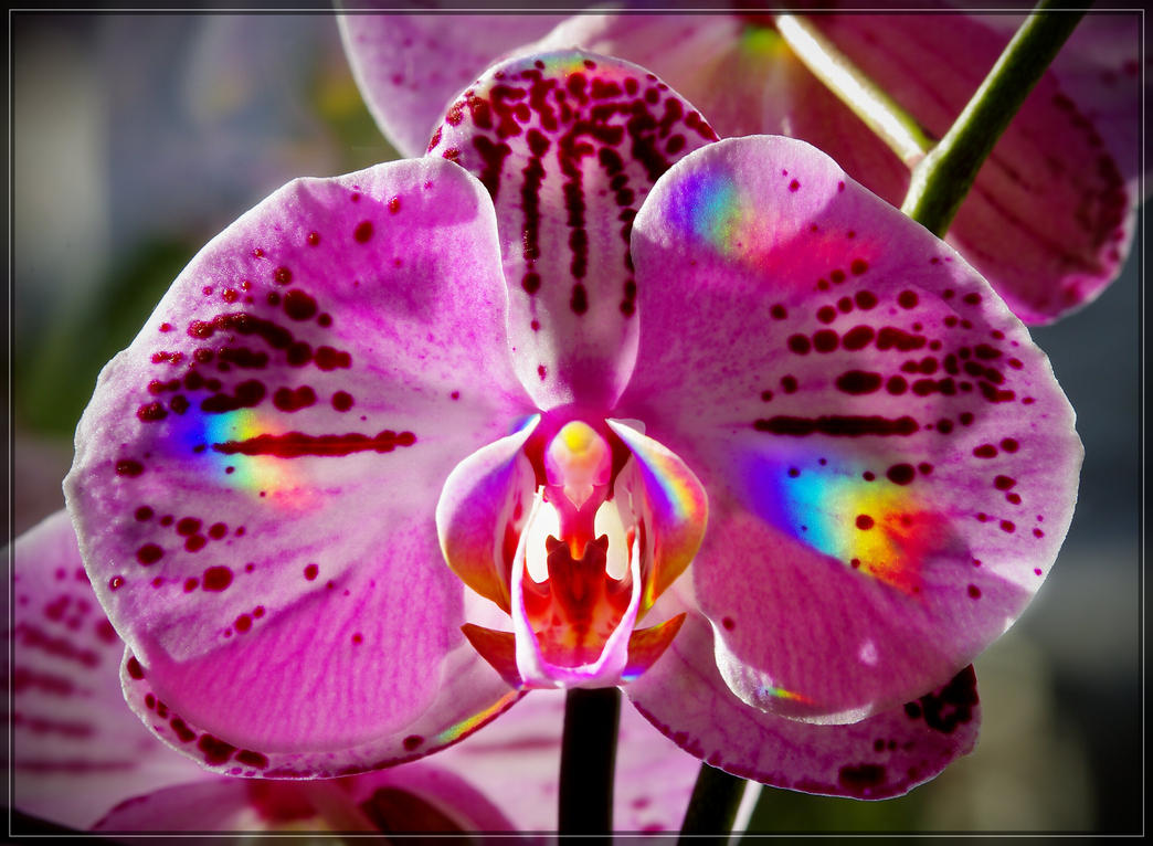 phalaenopsis jm0270 by joergens-mi