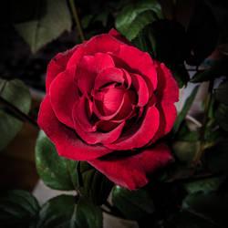 rose_jm2441 by joergens-mi