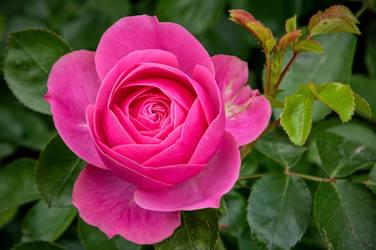 Rose_jm10279 by joergens-mi