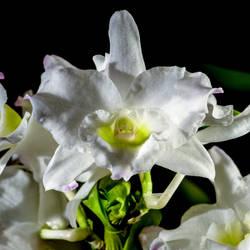 Orchid jm61575 by joergens-mi