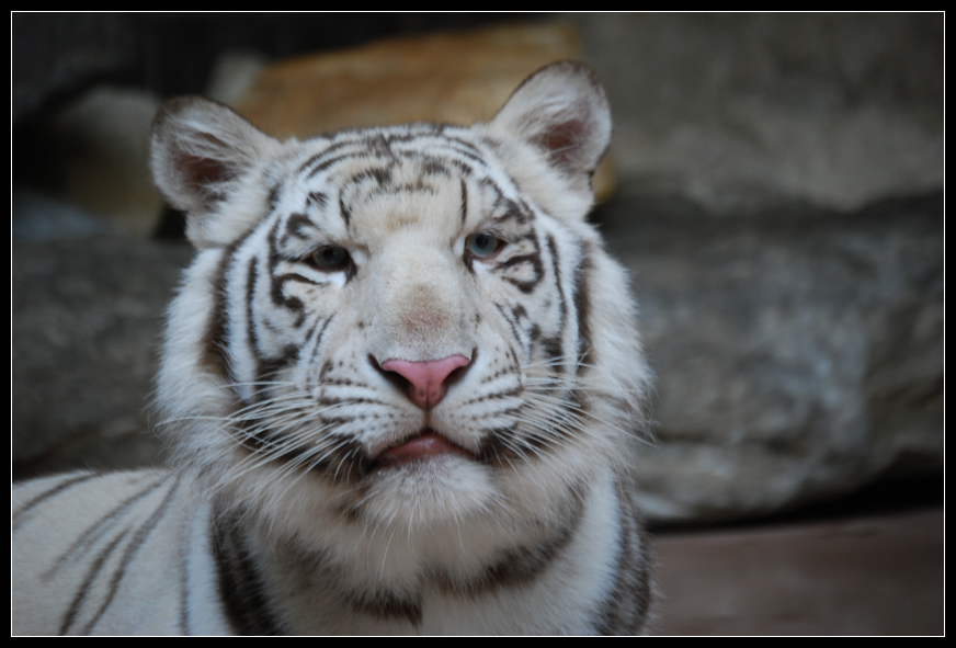 White tiger close up face - photo#3