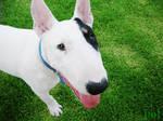 Simon Bull Terrier