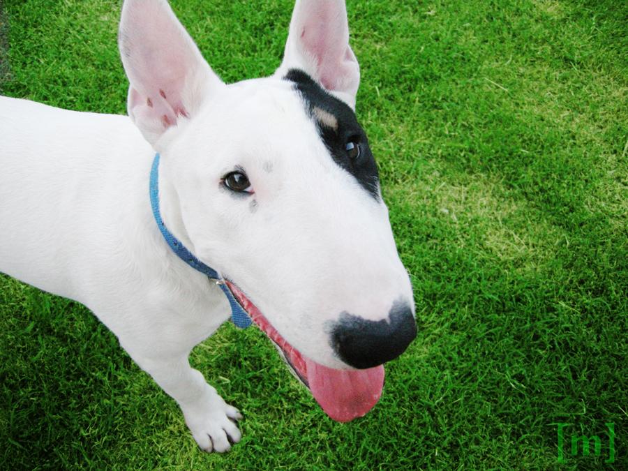 Simon Bull Terrier by emefe