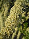Little white flower bush IV by Erijel