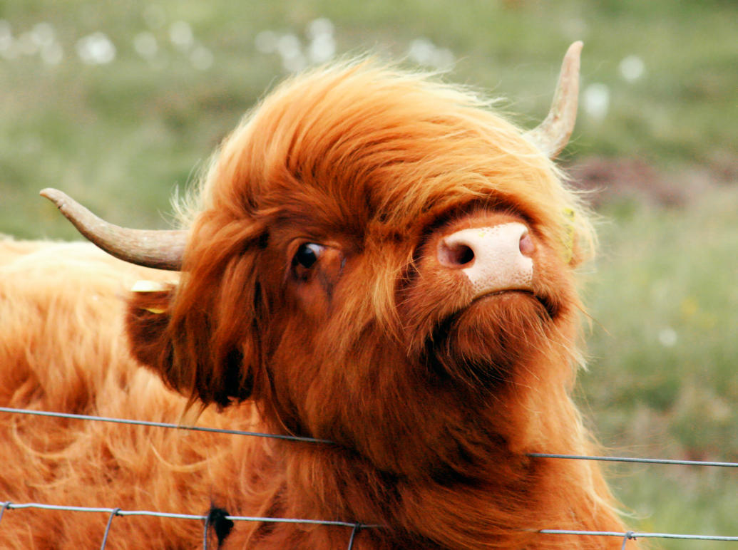 Highland Coo By Charlymarion On Deviantart
