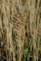 Wheat by the Library by Alex321432