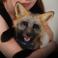 Pet Fox by silverrogue