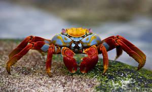 Sally Lightfoot Crab by willbl
