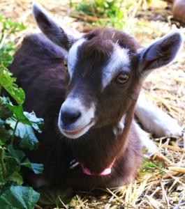 goatgirlart's Profile Picture