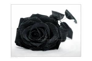 :: Black rose ::