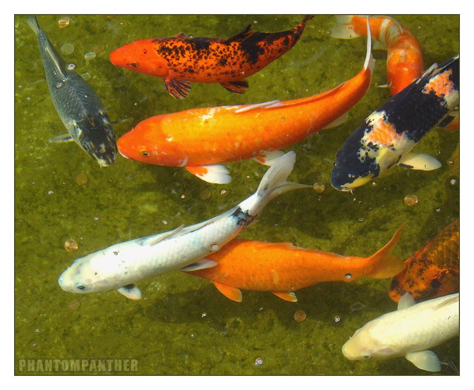 Zoo koi fish 01 by phantompanther on deviantart for Koi fish lifespan