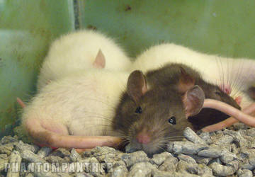 Photo - Resting Rodents