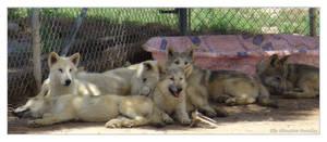 Wolf Sanctuary - Wolf Pups