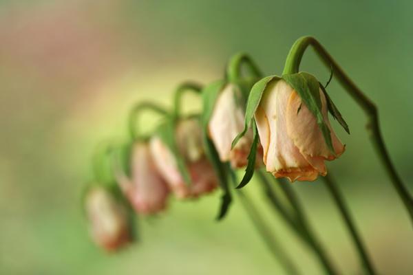5 depressed roses by royho