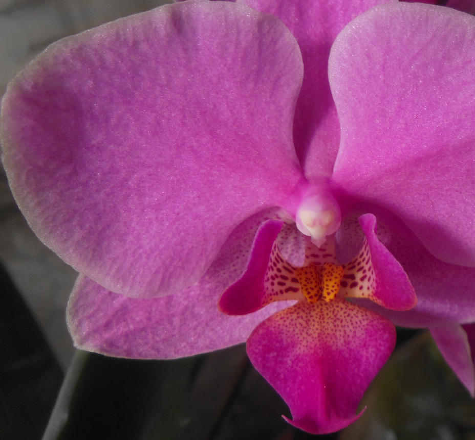 Pink Orchid by Kaleena127