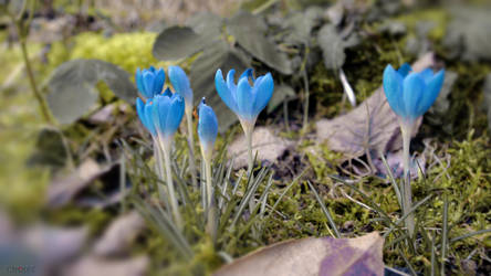 Awakening: Blue Crocus