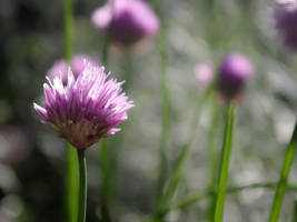 Chives III by TAK-KAT