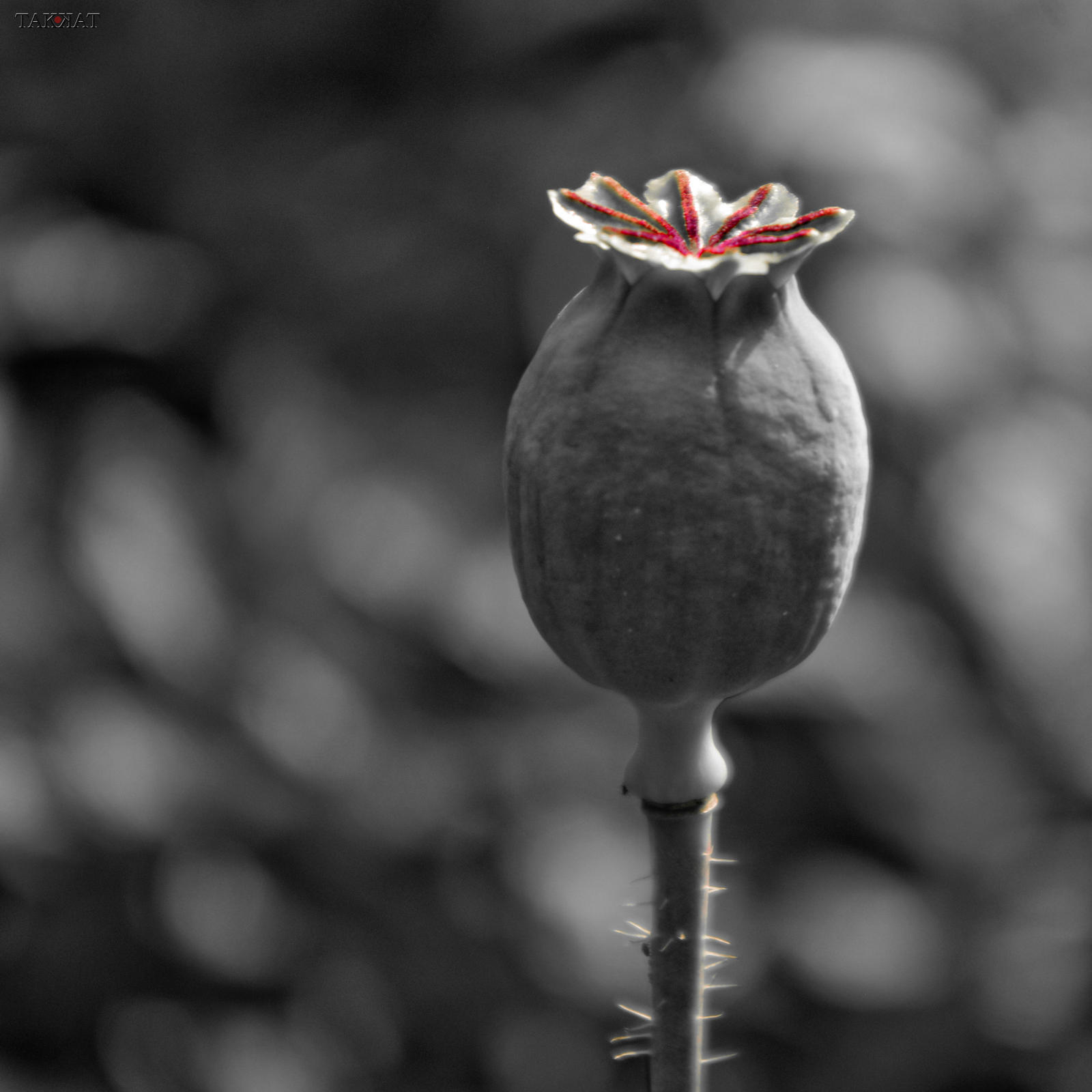 Poppy Seed Pod By Tak Kat On Deviantart